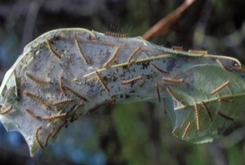 У Херсонській області сталося нашестя американського білого метелика (ВІДЕО) » Новини Херсона