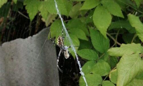 В Мариуполе обнаружили необычного паука-осу. Новости Мариуполя и Донбасса |
